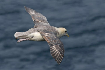 Fulmar. Photo by Jill Pakenham