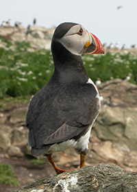 Puffin. Photograph by Stuart Newson