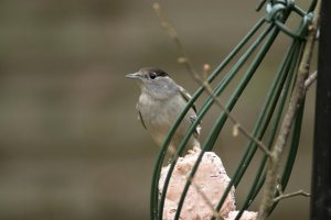 Blackcap. Photograph by Mark R Taylor