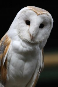 Barn Owl. Photograph by John Harding