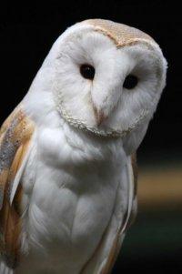 Barn Owl. Photograph by John Harding