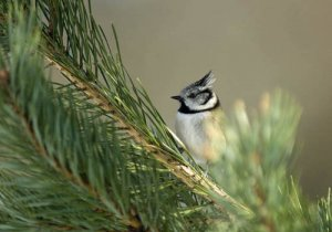 Crested Tit (Neil Calbrade)