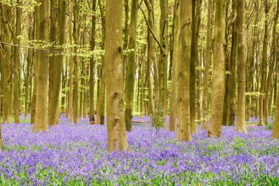 Bluebells in woodland (John Evans)