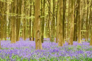 Bluebells in woodland. Photograph by John Evans