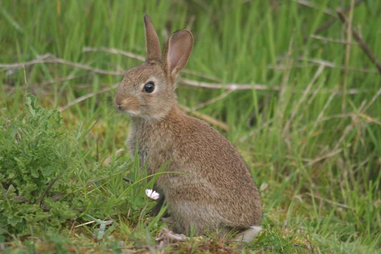 Rabbit (John Harding)