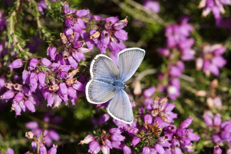 Silver-studded blue (John Harding)
