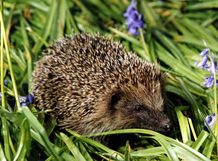 Hedgehog © John Harding