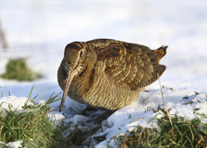 Woodcock. Photograph by John Dunn