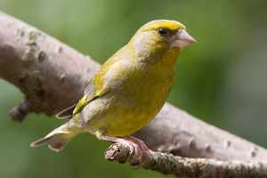 Greenfinch (John Harding)