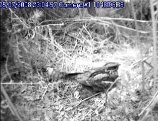 Nest camera image showing Nightjar on nest