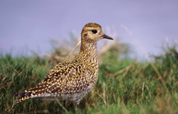 Golden Plover © Tommy Holden