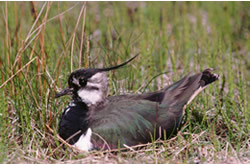 Lapwing on nest © George H Higginbotham