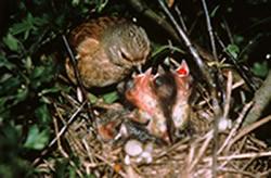 Linnet feeding chicks © Nicholas Watts