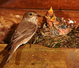 Spotted Flycatcher at the nest © George H Higginbotham