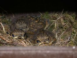 Robin chicks in a nestbox © John Cranfield