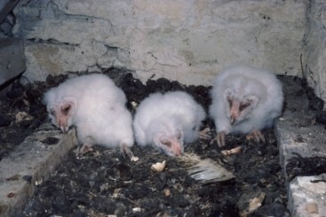 Barn Owl nest box occupancy in 2013 was the lowest seen by many recorders in the last 30 years. Graham Wren