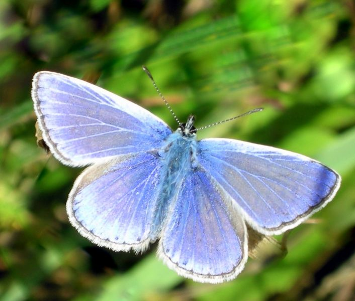Common Blue by Kate Risely
