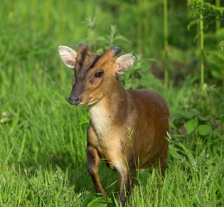 Muntjac by Paul Newton