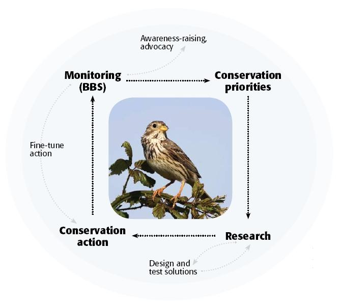 The conservation loop (Corn Bunting by Mark R Taylor)