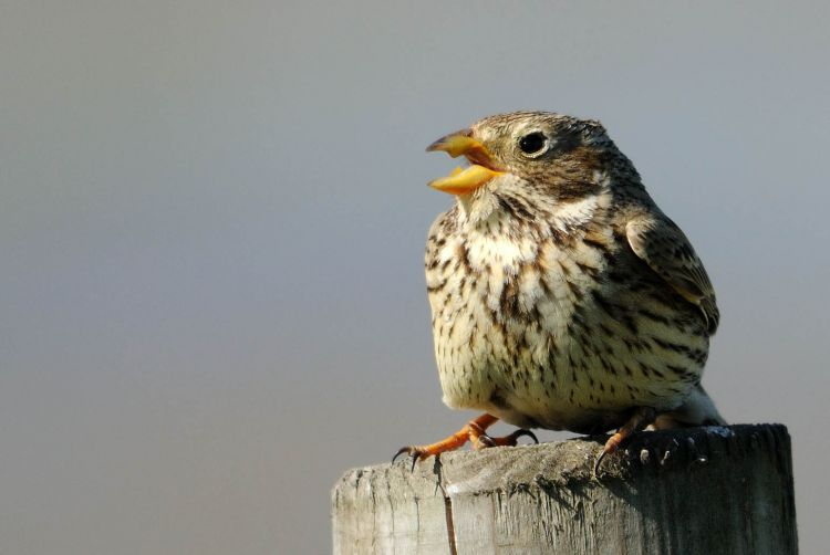 Corn Bunting by Amy Lewis