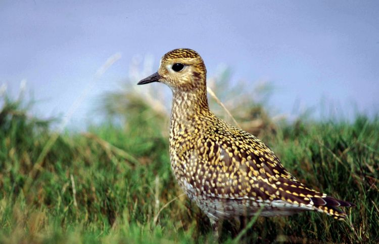Golden Plover by Tommy Holden