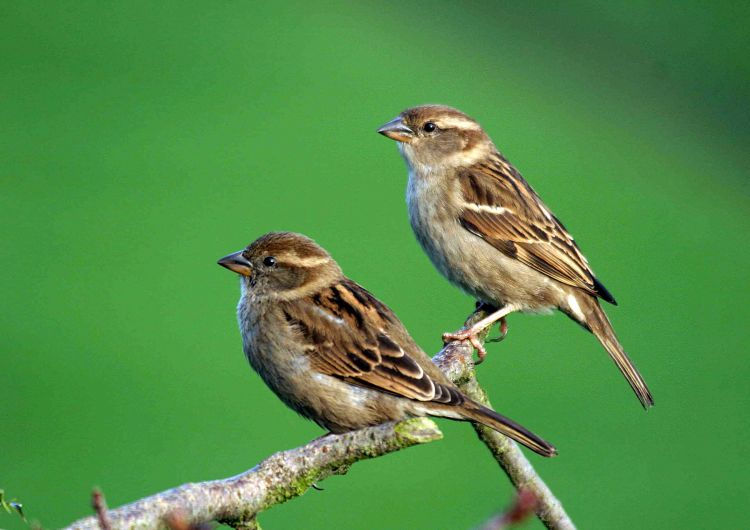 House Sparrows by John Harding