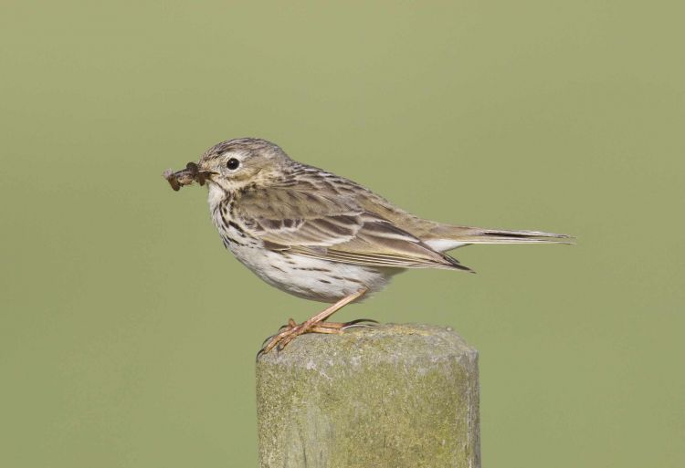 Meadow Pipit by Steve Gantlett