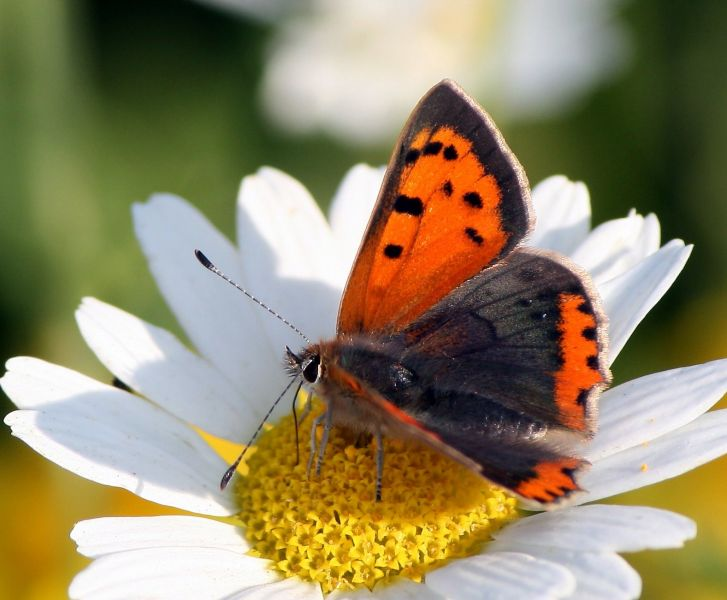 Small Copper by Dean Morley