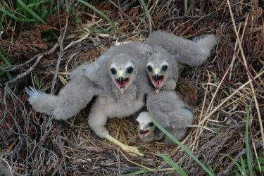 Hen Harrier chicks by Sean Morris