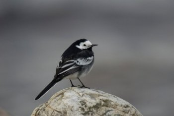Pied Wagtail by Neil Calbrade