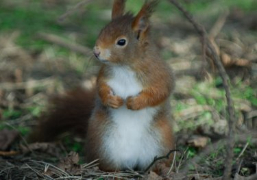 Red Squirrel by Neil Calbrade