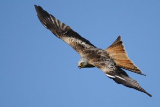 Red Kite by Amy Lewis