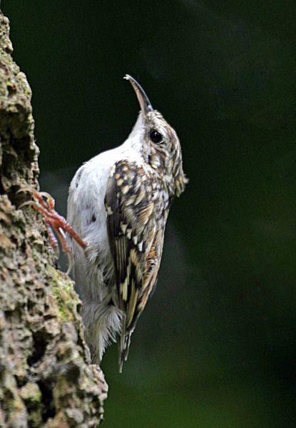 Treecreeper by John Harding