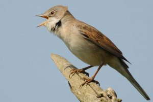 Whitethroat by Amy Lewis