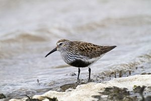 Dunlin. Photograph by John Harding.