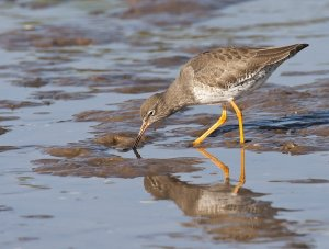 Redshank feeding in mud. Photograph by Allan Drewitt.