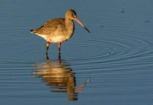 Colour ringed Black-tailed Godwit. Photograph by Ruth Walker