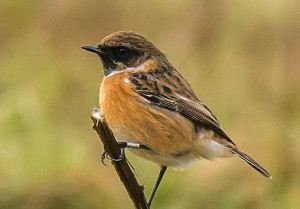 Ringed Stonechat. Photo by Ruth Walker.