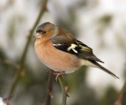 Chaffinch by Allan Drewitt