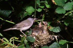 Blackcap at nest.  Photographed by Kevin Carlson.