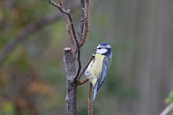 Blue Tit.  Photographed by Jeff Kew.
