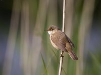 Reed Warbler. Photograph by Liz Cutting
