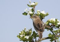 Sedge Warbler. Photograph by Colin Brown