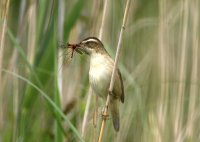 Sedge Warbler with food. Photograph by John Dunn