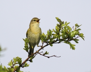 Willow Warbler. Photograph by Allan Drewitt