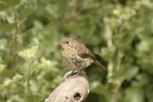 Juvenile Robin. Photograph by John Proudlock