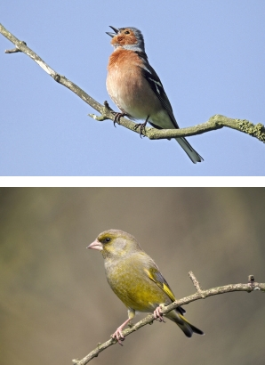Blue Tit, Chaffinch and Greenfinch. Photographs by Jill Pakenham and John Harding