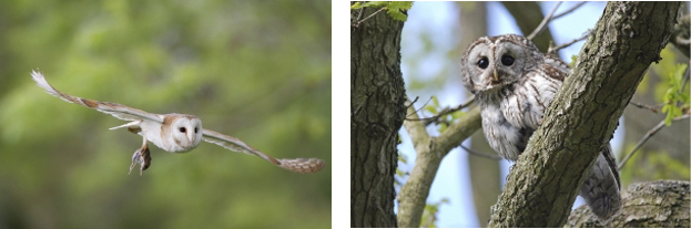 Barn Owl and Tawny Owl. Photographs by Paul Newton and Moss Taylor