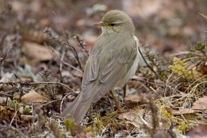 Willow Warbler. Photograph by Jeff Kew