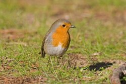 Robin.  Photographed by Jeff Kew.